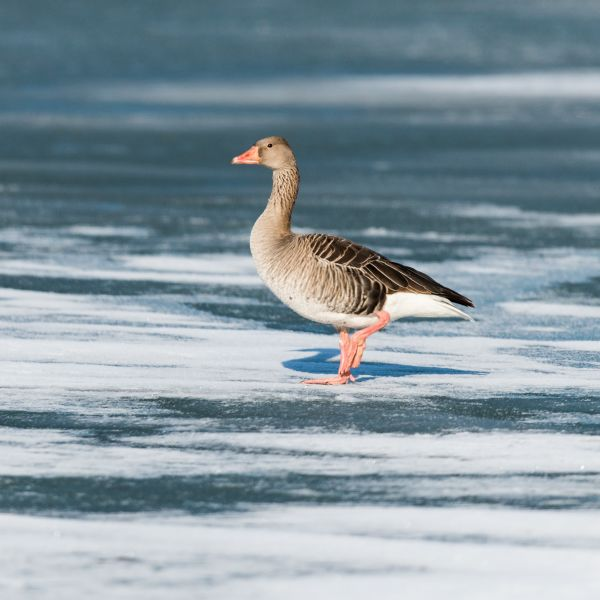 Close up: European Winter Waterfowl - Part 2 -  Greylag Goose (Anser anser) by Leander Khil