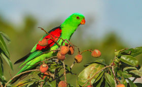 red-winged parrot Aus