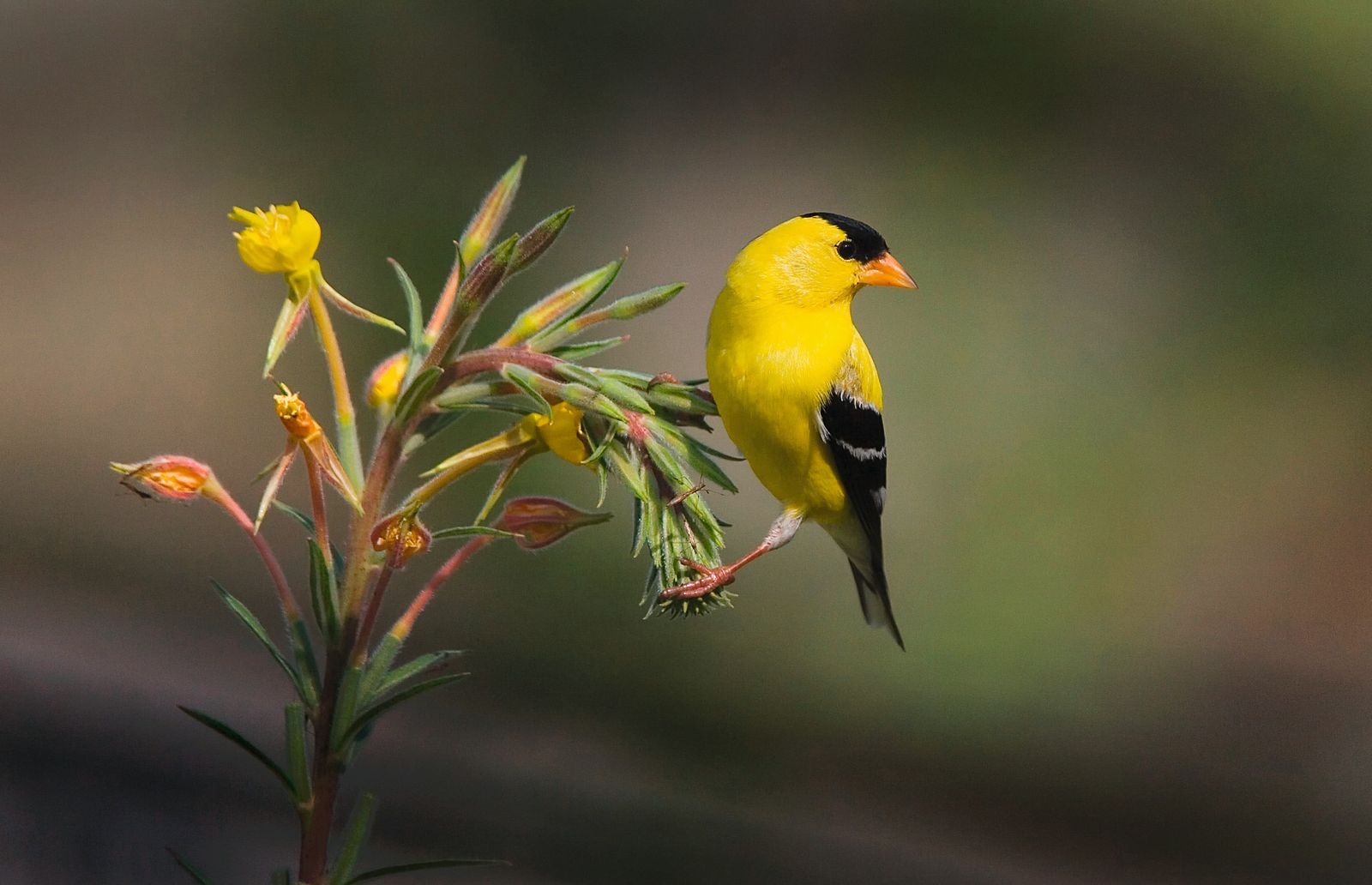 Aerican Goldfinch