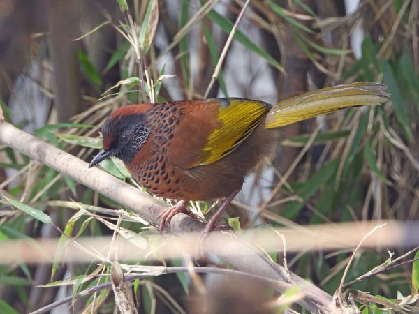 chestnut crowned laughingthrush
