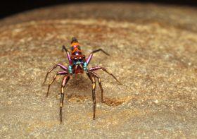 Chrysilla spider