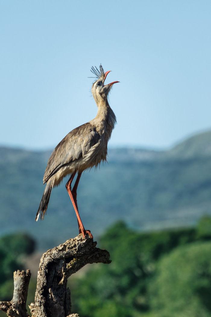 Red-legged Seriema Swarovski Optik Outdoor Nature Brasilian wildlife Binoculars spotting scopes