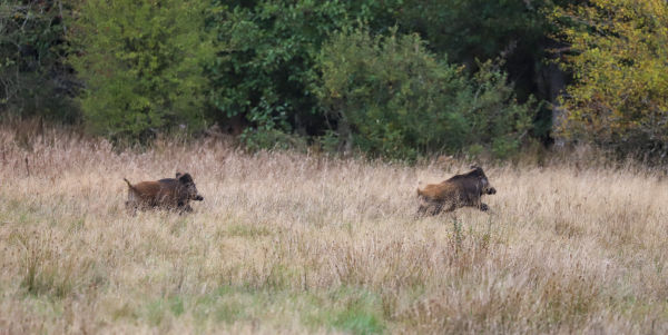 Join  us on a driven hunt in Belgium H/ - Dimitri Hullebroek two wild boars running through the field