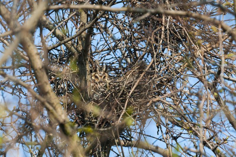 Bird nests – versatile cradles B/ - Waldohreule LK