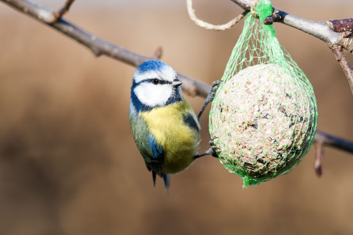 A Eurasian Blue Tit (Cyanistes caeruleus) feasting on a fat ball in Graz, Austria, in 2009.