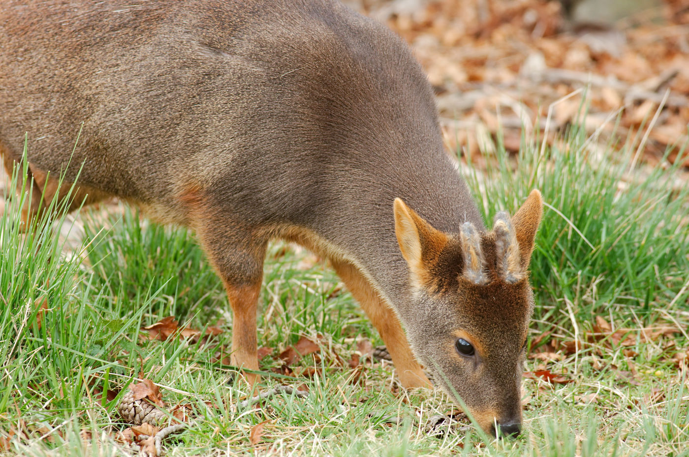 While travelling to southern Chile, keep your Swarovski Optik binoculars at the ready for the diminutive Chilean pudú deer, which measures in at around 40 centimetres tall, making it one of the world's smallest deer.