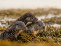 How to observe Shetland's otters B/ O/ - Spotting otters without being spotted with the 115-mm objective module otters