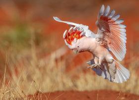 pink cockatoo 2 aus