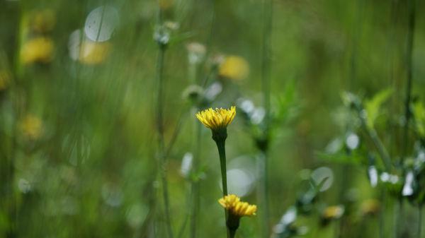 landscape dandelion on grassy meadow