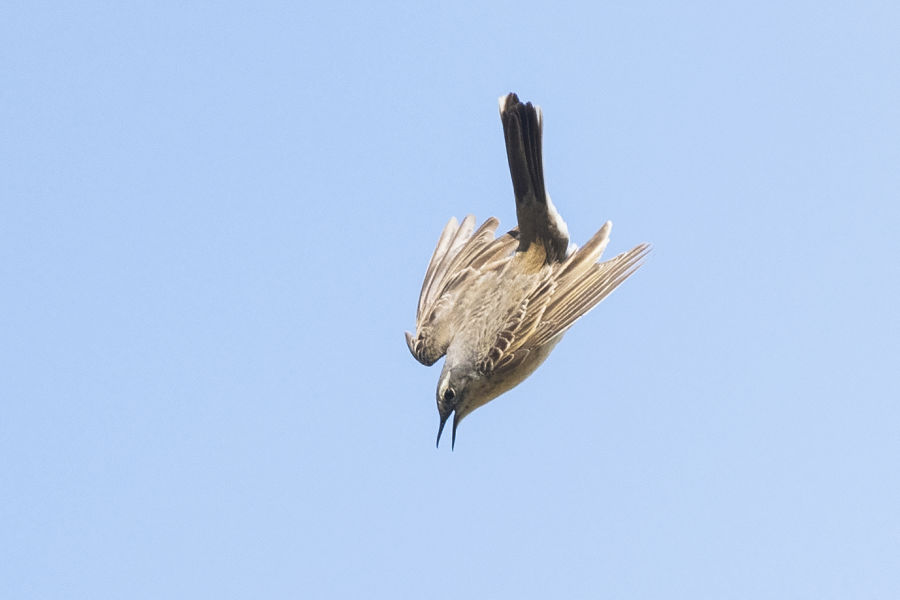#gobirdingvlog Episode 6: Austrian Alps B/ - Bergpieper/ Water pipit flying by Leander Khil