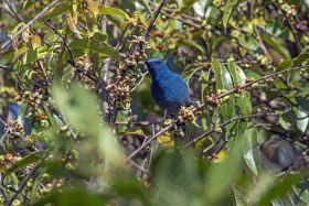 Nilgiri Flycatcher, Western Ghats