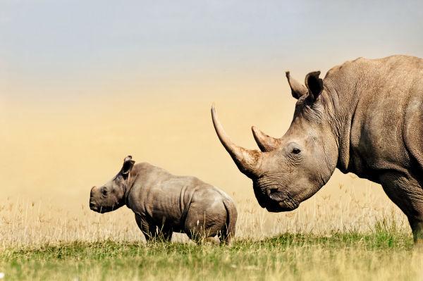 Mammal Rhino ID663270