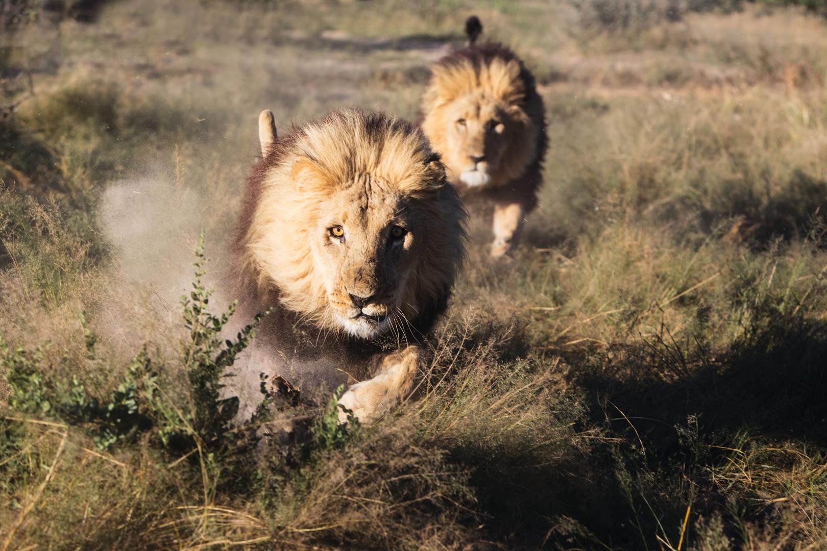 Two captive male lions (Panthera Leo) running full speed, Grasslands Reserve, Botswana, Africa,