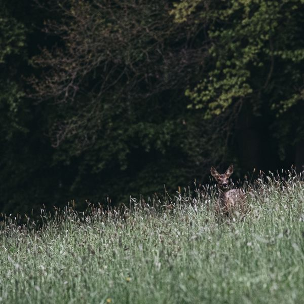 Deer in a field Landscape