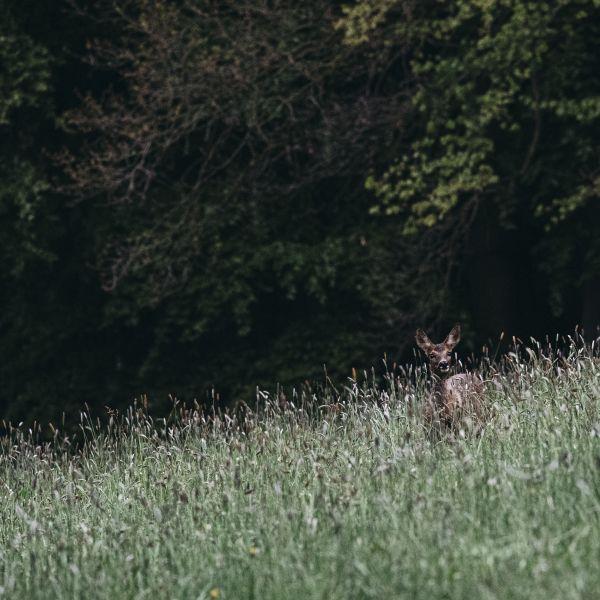 Deer in a field Landscape