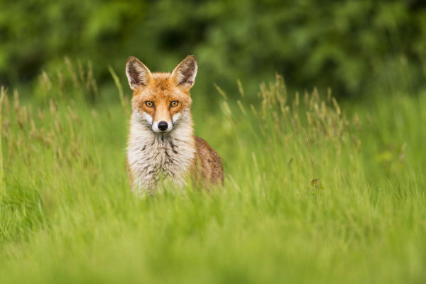 SWAROVSKI OPTIK dG Apps - dG Mammals App fox