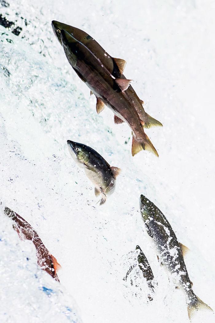 Atlantic Salmons in a river