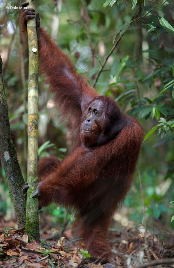 Orangutan an ground , Borneo