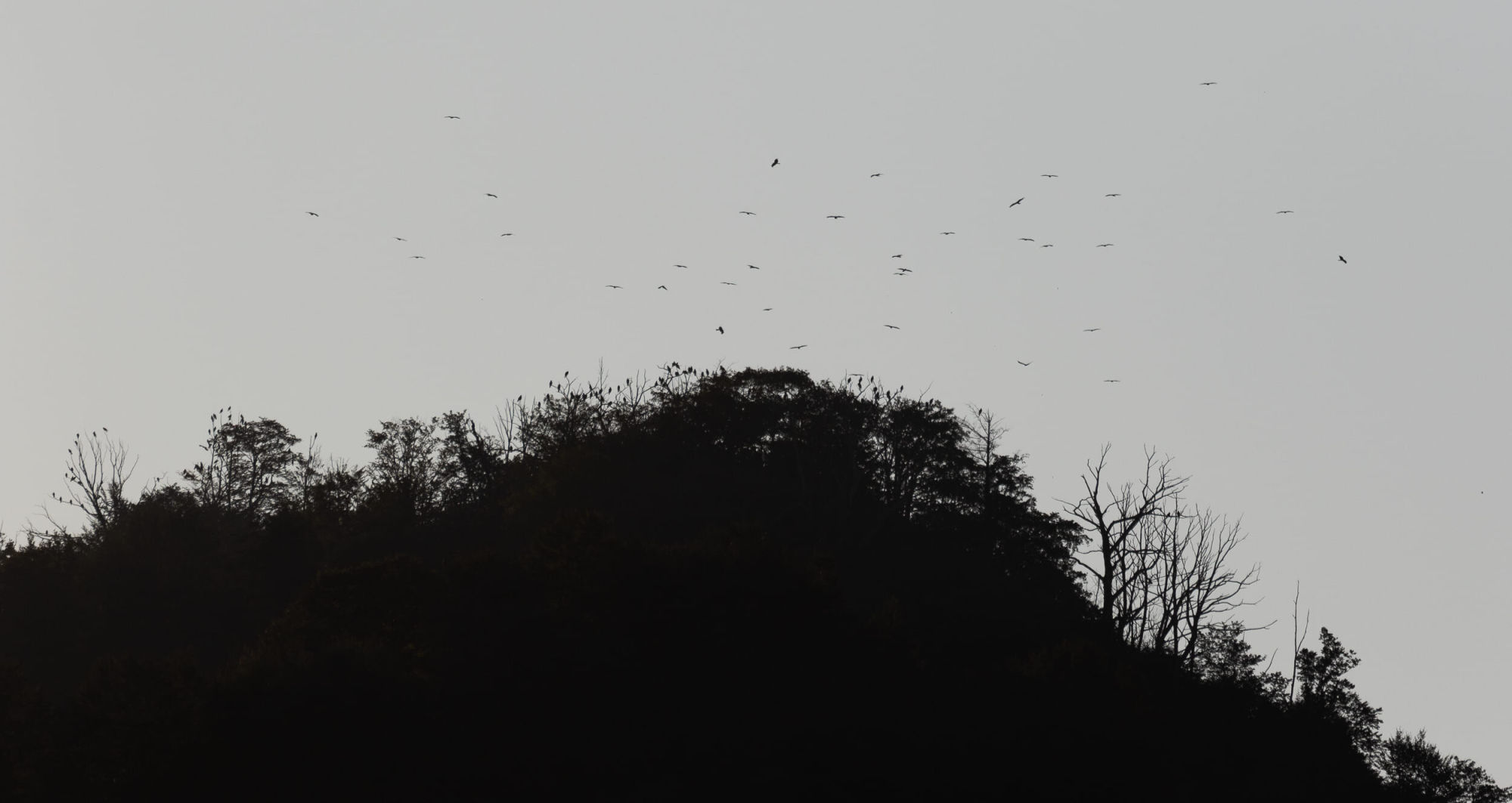 Bart Hoekstra / Batumi Raptor Count. Black Kites