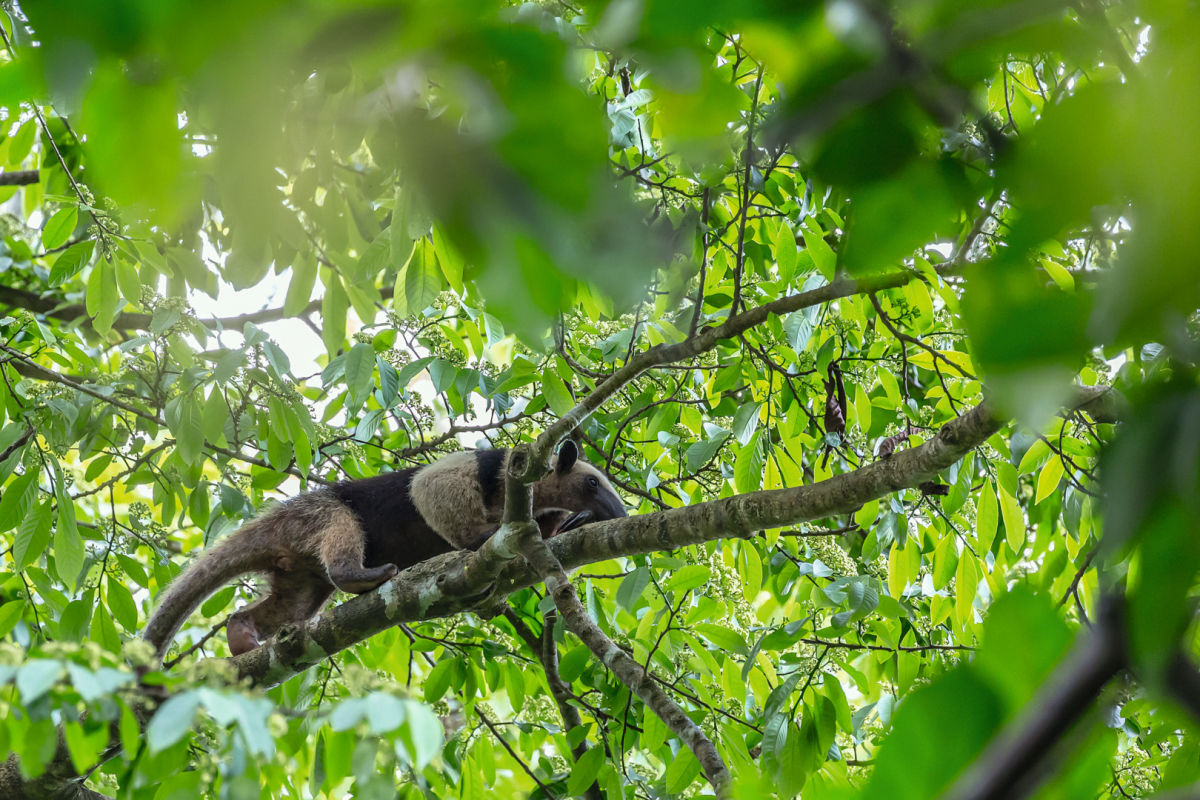 SWAROVSKI OPTIK Closer Birding-Magazin, Anteater on a branch in Corcovado National Park