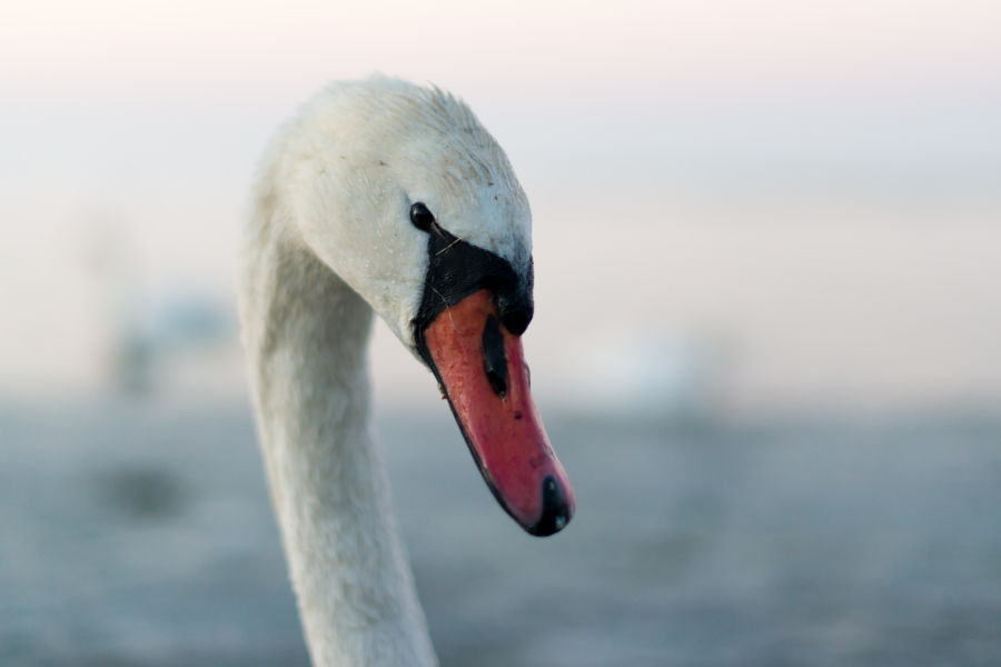 Close up: European Winter Waterfowl - Part 2 B/ - Mute Swan (Cygnus olor) 01 by Leander Khil