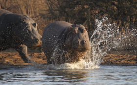 Hippo enters water