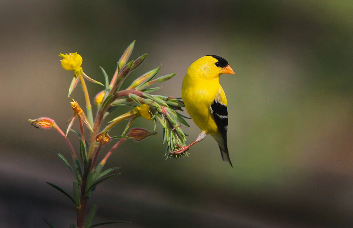 Bird American Gold Finch on primrose plant ID 1249370