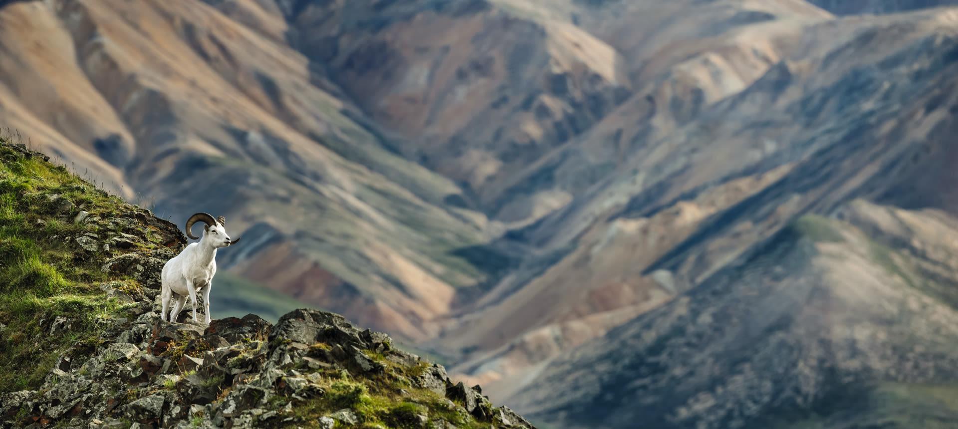 Wild Sheep Alaska