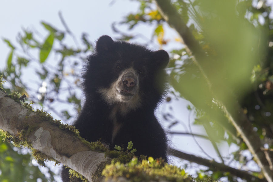 Spectacled Bear NW Ecuador Sam Woods IMG 6016