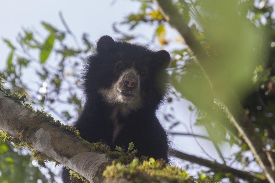 Spectacled Bear NW Ecuador Sam Woods IMG 6016