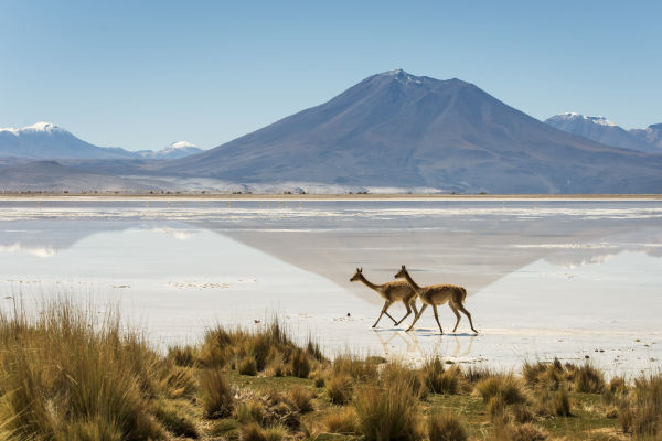 In the cinematic Chilean Altiplano, over in west-central South America, visitors are likely to encounter South America's four famous camelid species: shaggy-haired llamas, guanacos, alpacas and vicuñas.