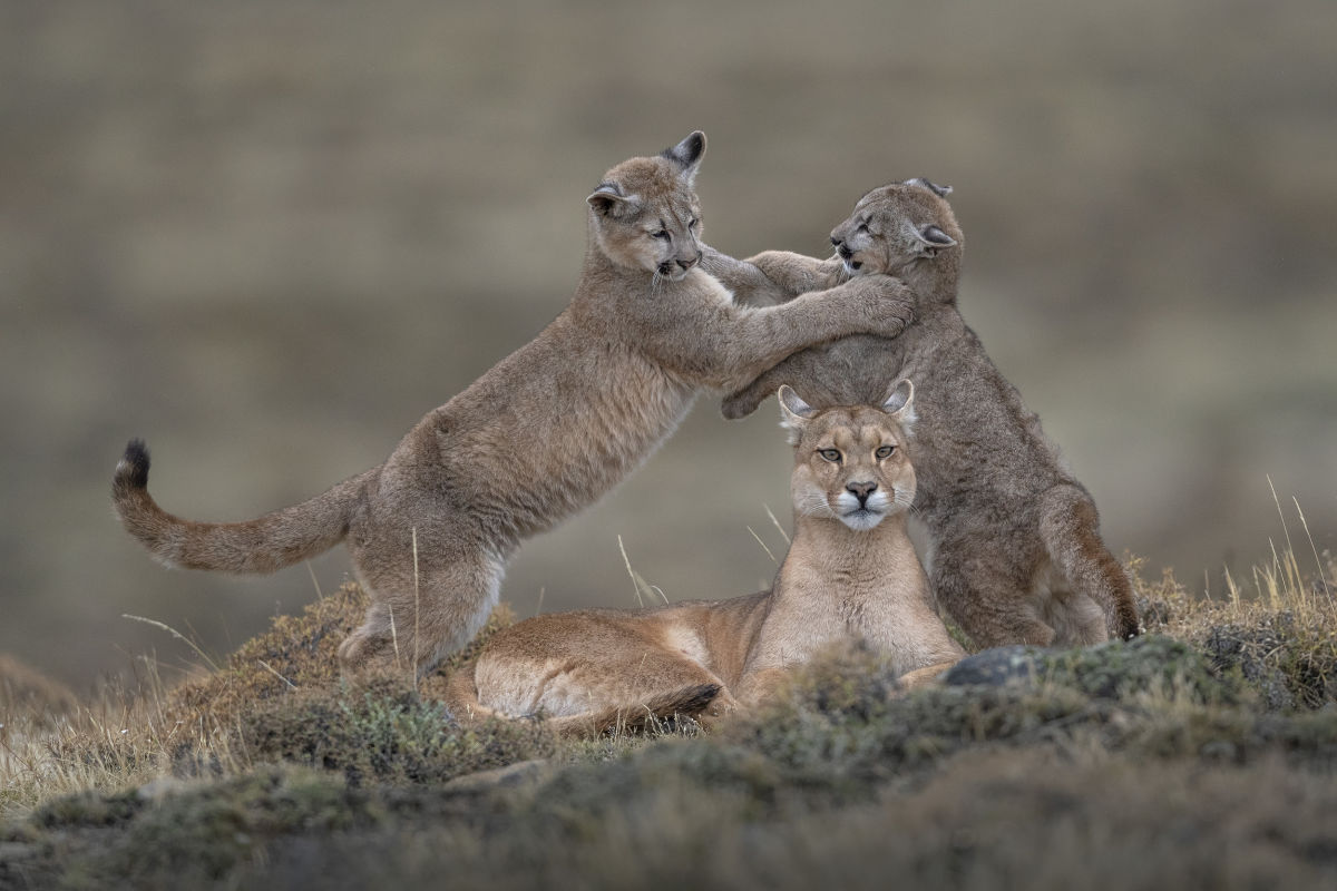 Pumas in Torres del Paine National Park  Story 3 a caring mother - Part 3