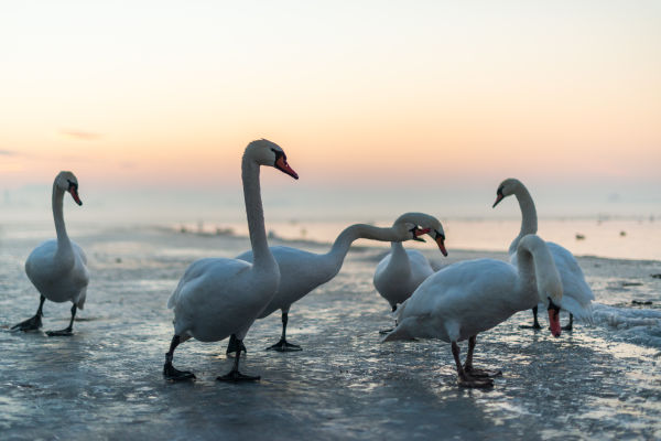Close up: European Winter Waterfowl - Part 2 B/ - Mute Swan (Cygnus olor) 03 by Leander Khil