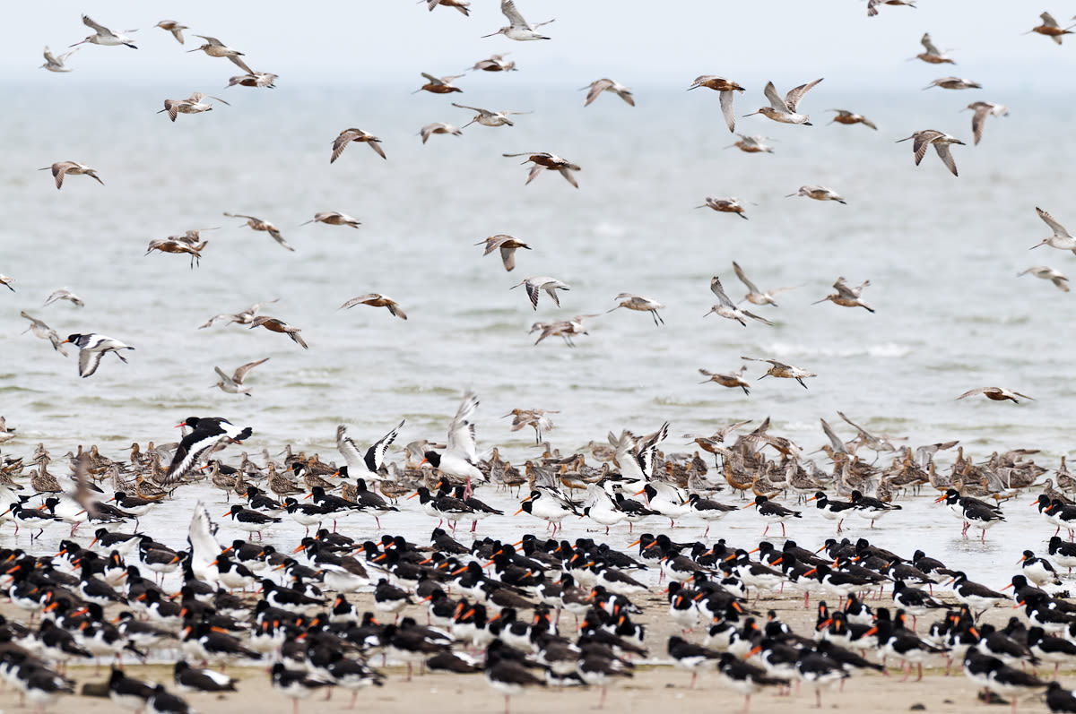 Flocks of birds taking flight at the North Sea coast in Fuhlehörn, Germany, in 2010.