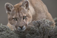 Pumas in Torres del Paine National Park  mammal Ingo Arndt 045