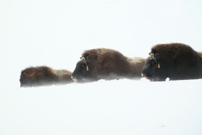 Swarovski Optik Digiscoping spotting scope the musk ox in snow and wind
