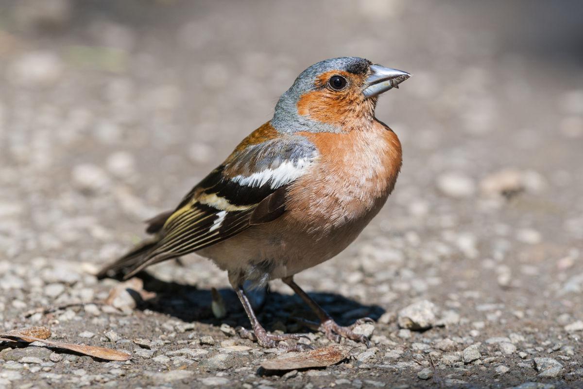 Birding at your doorstep – discover the birdlife close to you B/ - Buchfink LK