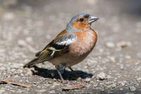 Birding at your doorstep – discover the birdlife close to you B/ - Buchfink LK