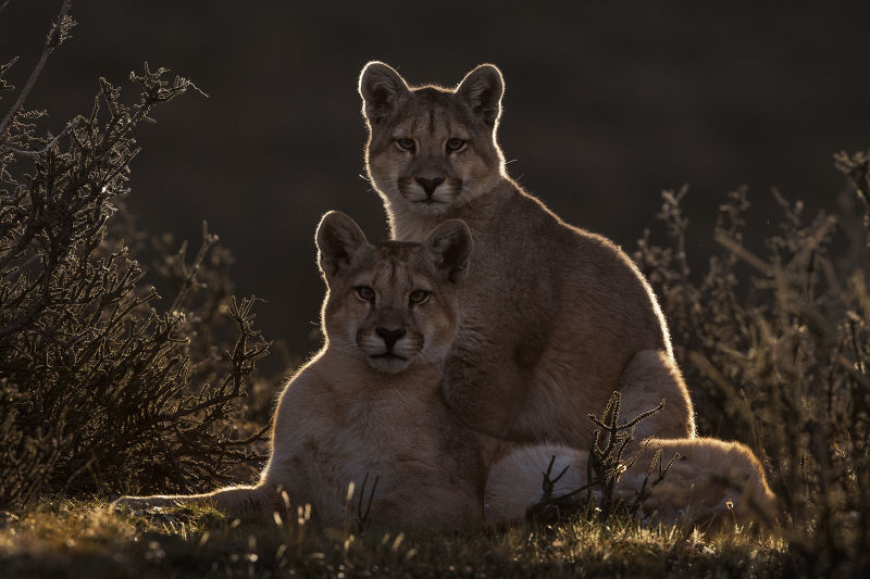 Pumas in Torres del Paine National Park  Story 3 a caring mother