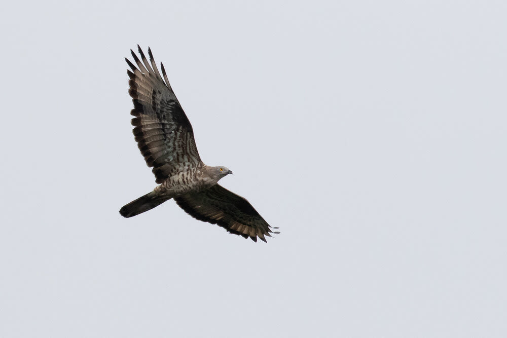 Bart Hoekstra / Batumi Raptor Count. Honey Buzzard