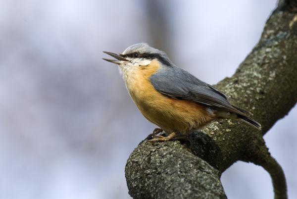 #gobirdingvlogs by Leander Khil B/ - #gobirdingvlog Episode 7: Spring Bird Sounds Kleiber by Leander Khil