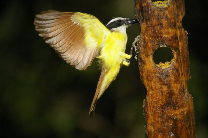 The great kiskadee (Pitangus sulphuratus) is a passerine bird and one of the largest in the tyrant flycatcher family. The head is black with a strong white supercilium and a concealed yellow crown stripe. The upperparts are brown, and the wings and tail are brown with usually strong rufous fringes.
