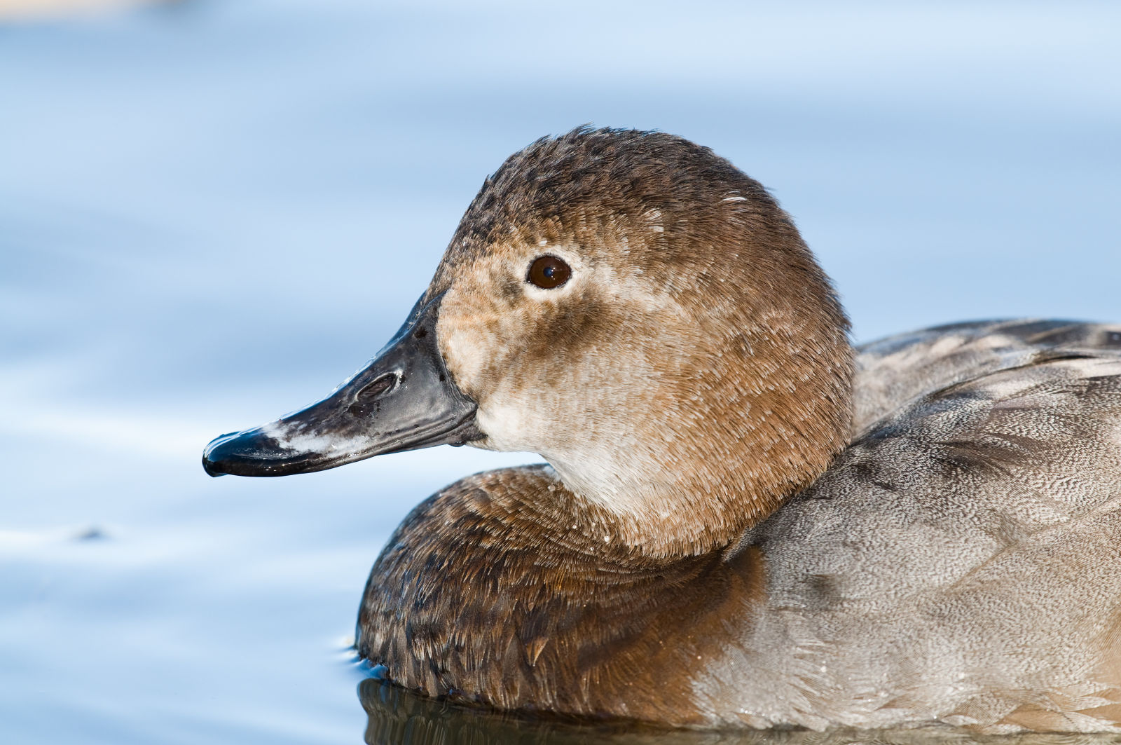 Close up: European Winter Waterfowl - Part 1 - Common Pochard (Aythya ferina) by Leander Khil
