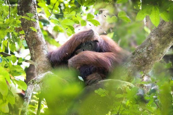 Orangutan in Tree Borneo