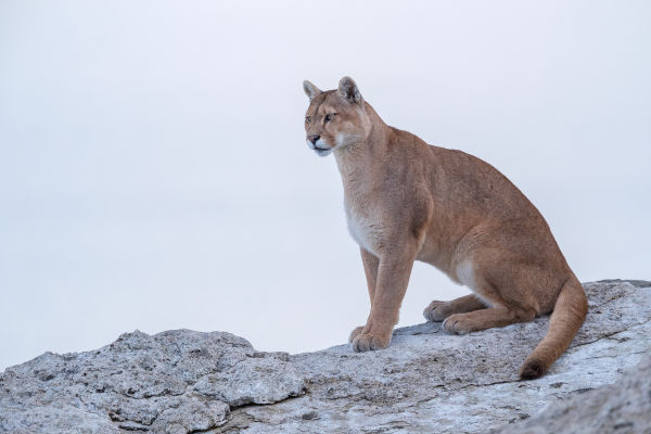 Pumas in Torres del Paine National Park  Story 3 a caring mother - Part 5