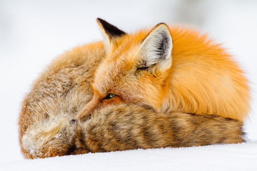 Animals Red Fox ID 1230587