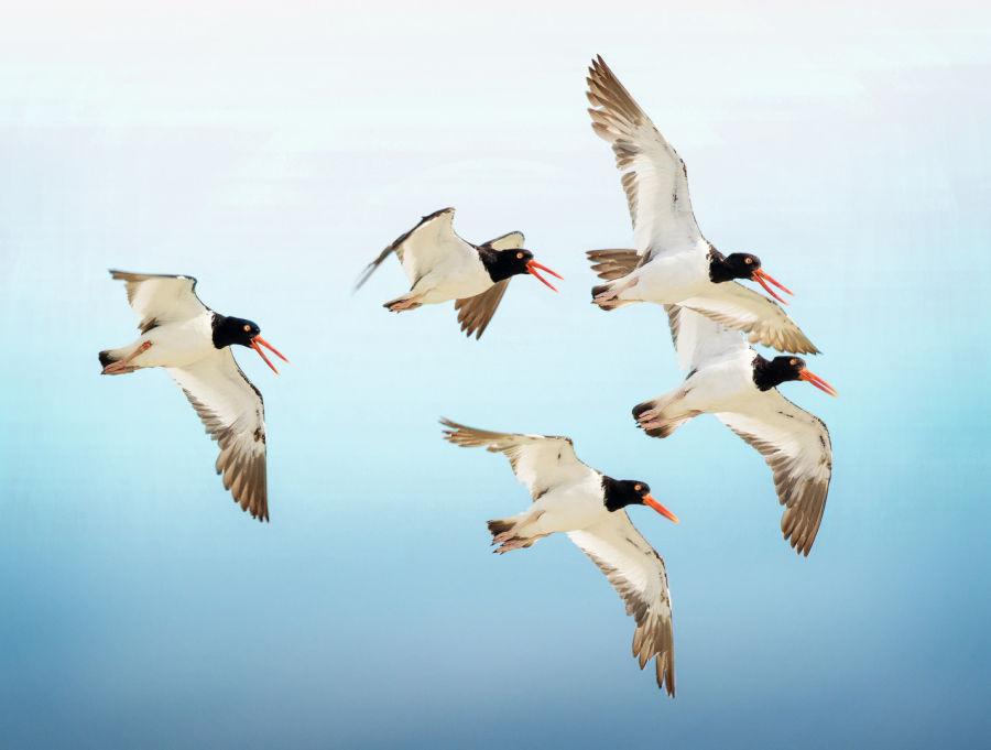 Why birds matter by BIRDLIFE INTERNATIONAL B/ - Closer Birding-Magazin, 2020, Oystercatchers in Flight, ID:1399400