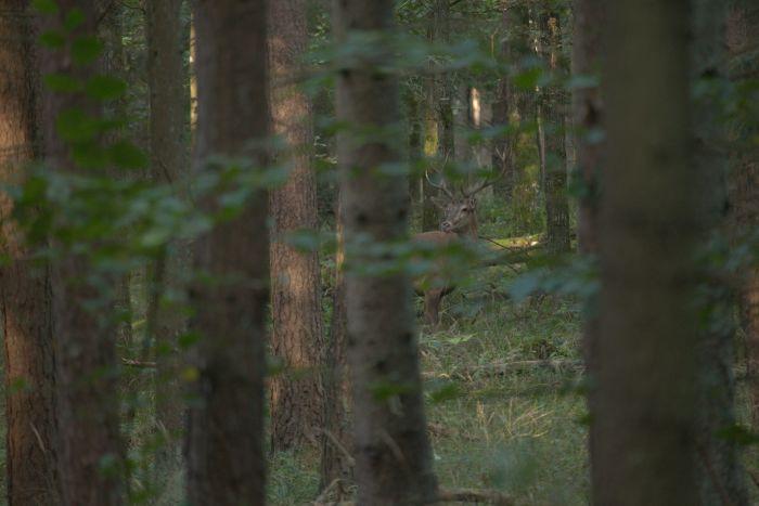Hunting red deer in Poland - red deer
