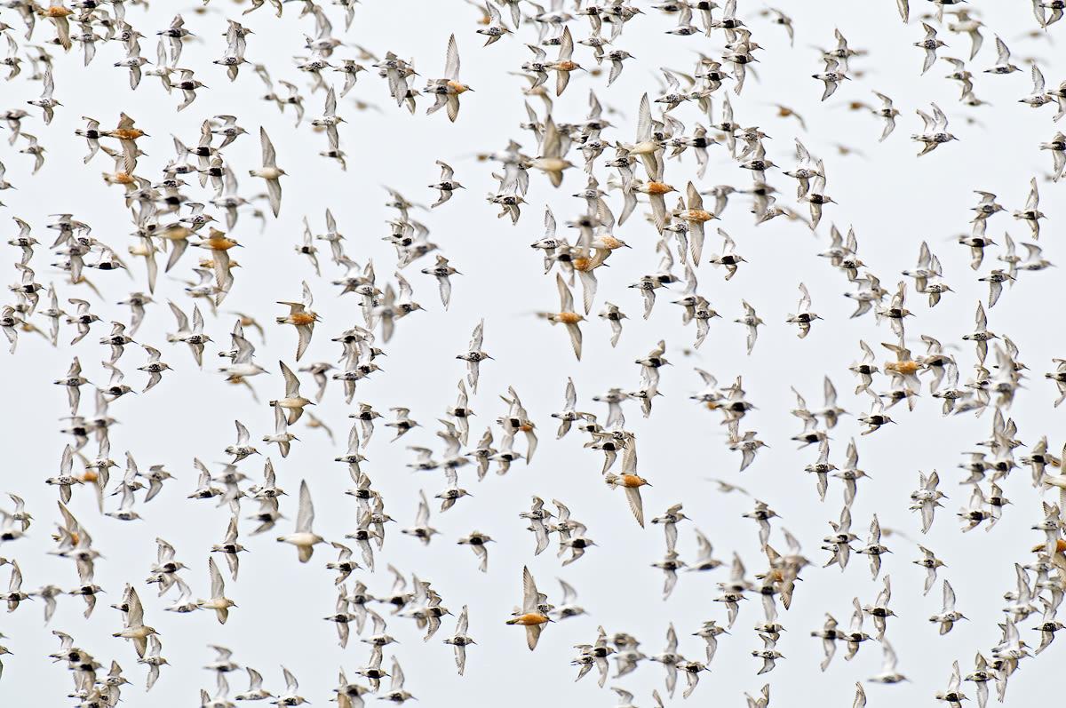 Flying shorebirds at the German North Sea coast (Fuhlehörn) in 2010.