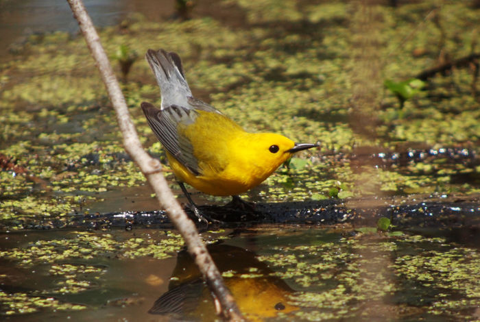 Prothonotary Warbler, Clay Taylor
